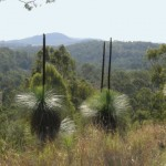 grasstrees and mountains