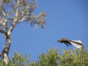 grey fantail flying