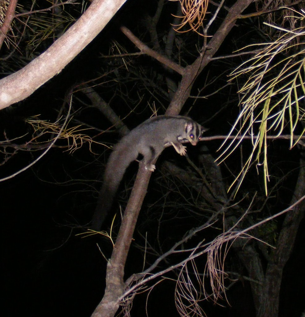 squirrel glider, Wallaby Ridge, Wonglepong