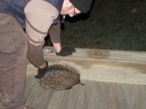 echidna Kerry Valley