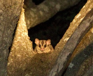 Squirrel glider at Destiny property: photo by Linda Cross
