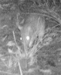 Long-nosed bandicoot, motion-sensing camera