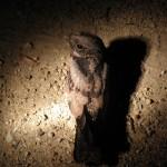 White-throated Nightjar