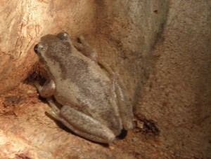bleating treefrog, Mt Barney Lodge