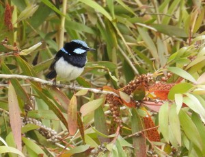 Fairy-wrens usually disappear from areas where understory is destroyed