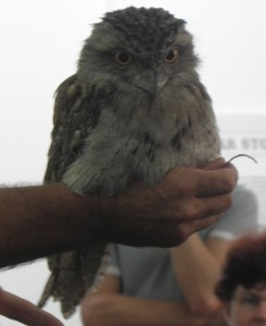 frogmouth_gliderworkshop2015.jpg