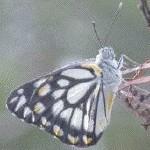butterfly_CW
