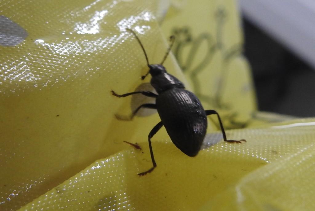 Black beetle in carpark, Skywalk