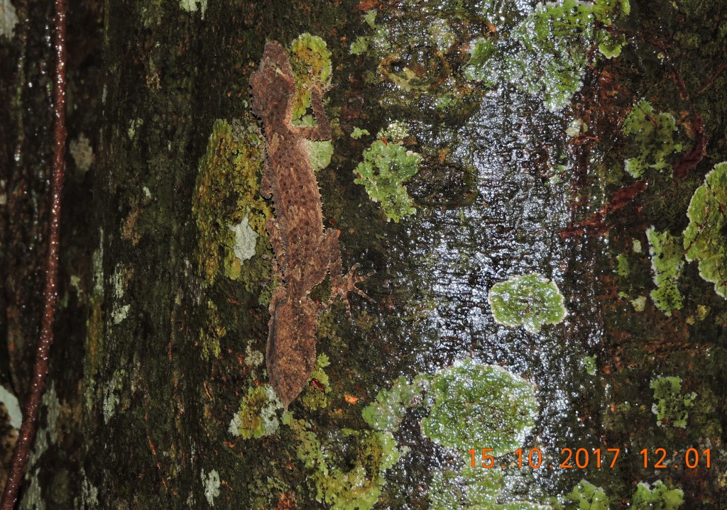Leaf-tailed Gecko Skywalk