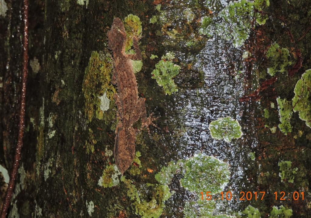 Leaf-tailed Gecko Skywalk