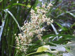 Lomandra in flower, Skywalk
