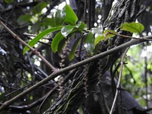 Peristeranthus hillii.  Photo Ronda Green