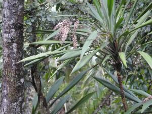 Flowers of palm lily, Thunderbird Park