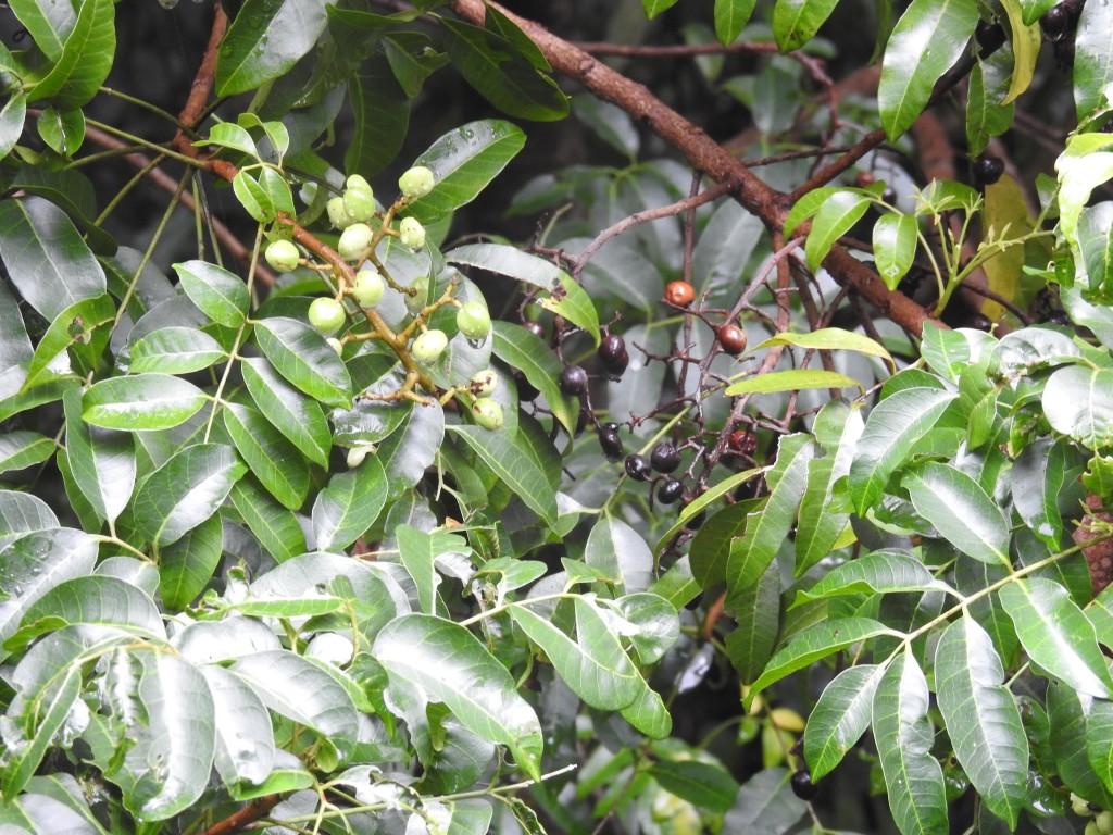 Fruits of Deep Yellow-wood (Rhodosphaera), Skywalk