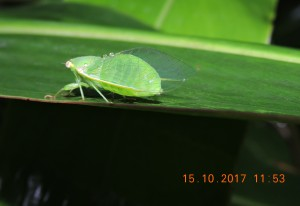 Leafhopper, Thunderbird Park (photo Darren Green)