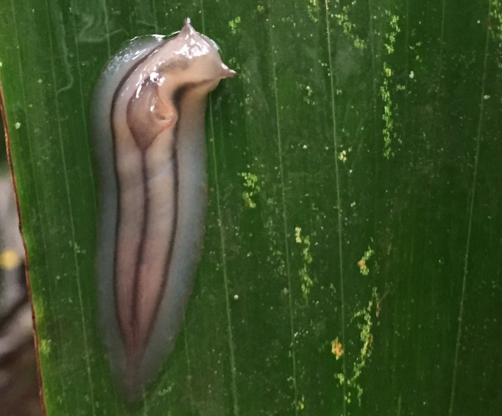 Triangle slug. Photo by Jennie Bacon