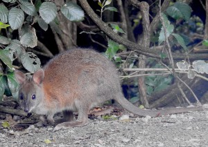 Pademelon, showing router body than bettong